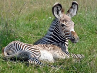 Photos: Rare Baby Zebra Makes Public Debut