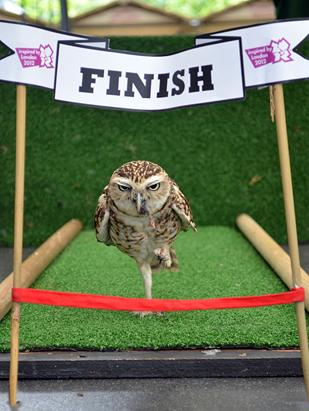 Bob The Owl in His Own Olympic Feat