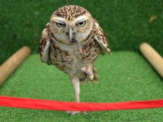 Photos: Bob the Owl Dashes to Finish Line