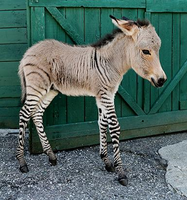 Baby zonkey makes his debut in Italy