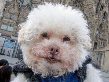 PHOTO: Tiny Poodle Travels Big Time