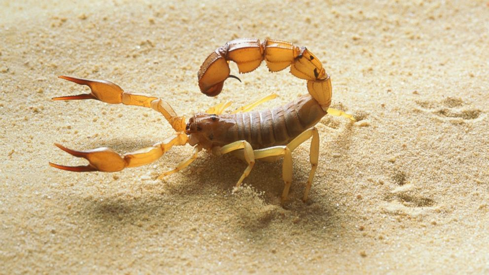A yellow fat tail scorpion is  Scorpion