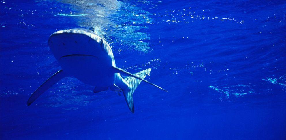 PHOTO: A Galapagos Shark swims near the surface.