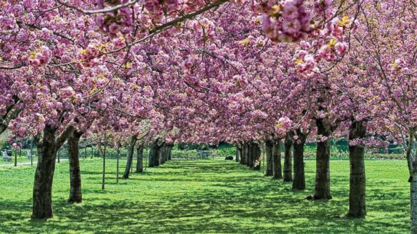 PHOTO: Cherry Esplanade at Brooklyn Botanic Garden, N.Y.