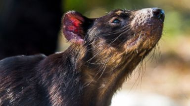 PHOTO: The luxury Saffire Freycinet hotel is on a mission to save the Tasmanian Devil from a contagious form of facial cancer.