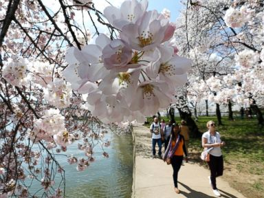 Photos: Cherry Blossom Season is On!