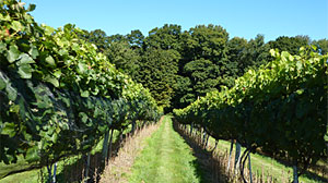 Photo: Hit the Connecticut Wine Trail for a Weekend Getaway: Fall Wine Harvests Across Connecticut?s Vineyards