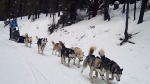 Video: Dog sledding instructor explains how the dogs are arranged.