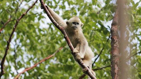 abc golden subnosed monkey 2 mi 130424 wblog Tracking Chinas Rare Golden Snub Nosed Monkey