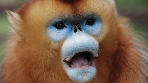 abc golden subnosed monkey mi 130424 wblog Tracking Chinas Rare Golden Snub Nosed Monkey