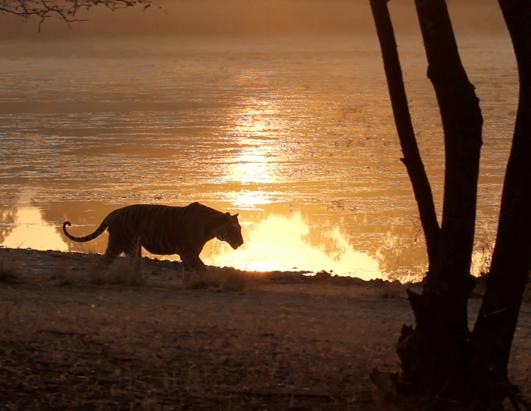 Can 'Tiger Tourism' Save India's Big Cats?