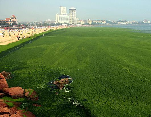 Green Algae Turns Qingdao Beach To Swamp