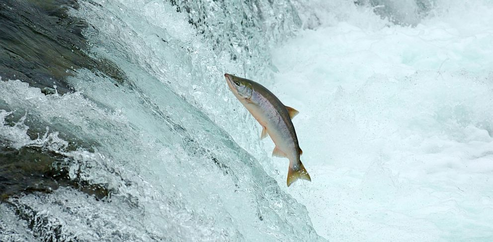 PHOTO: During spawning season, you can see salmon jumping out of the water as they try to swim upstream.