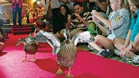 PHOTO The Peabody Orlando has launched a national search for a new Duck Master.