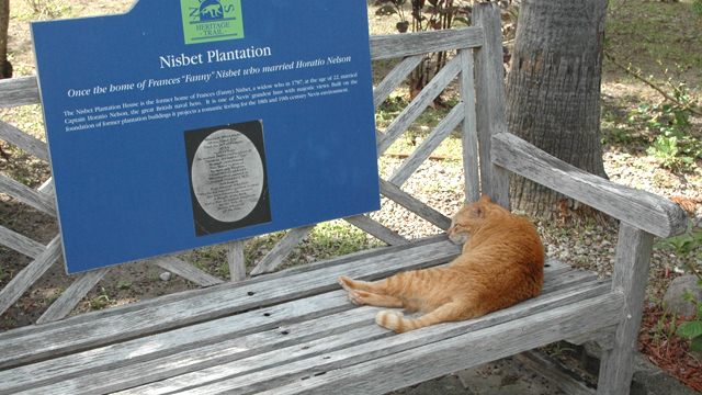 PHOTO: Henry is a cat that lives at Nisbet Plantation Beach Club on the Caribbean island of Nevis.