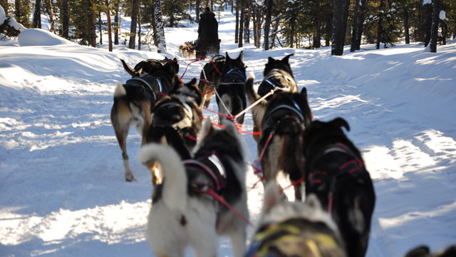 PHOTO: Consuming up to 13,000 calories a day sled dogs are lean beasts that can pull up to 60 pounds each.