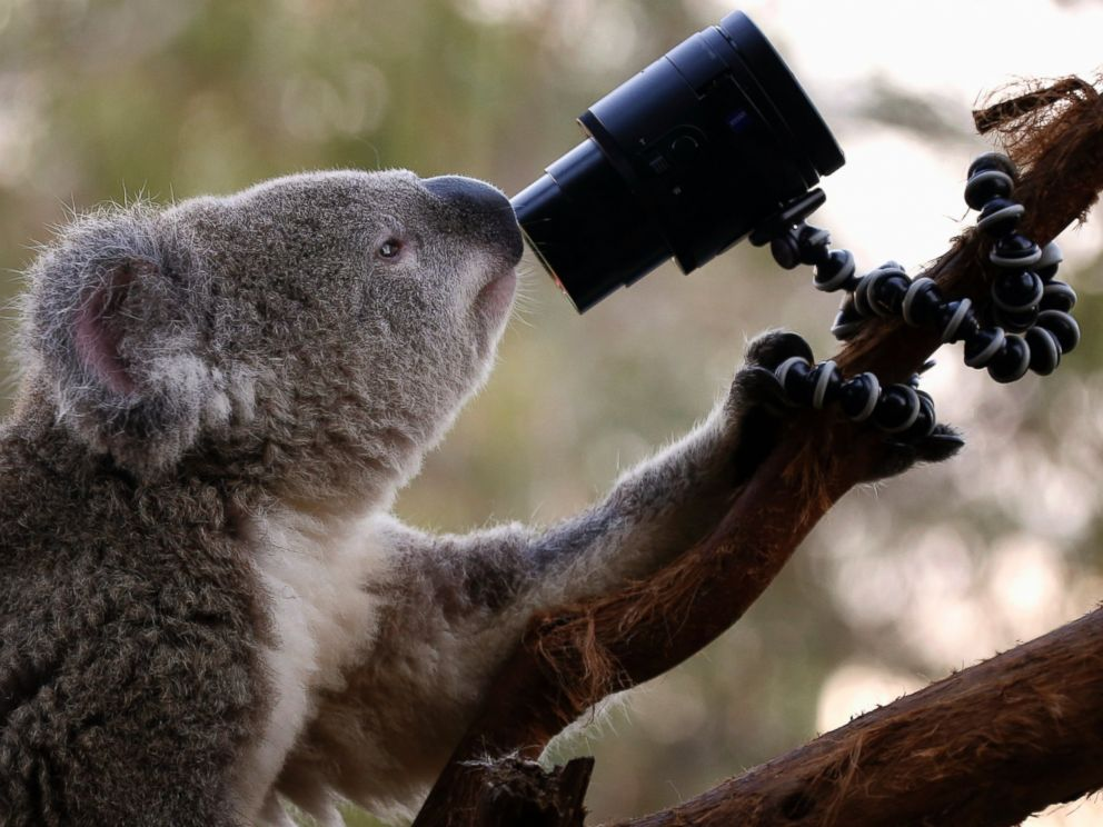 PHOTO: An Australian Koala looks at a camera as it sits atop a branch in its enclosure at Wild Life Sydney Zoo April 3, 2014.