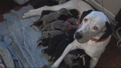 VIDEO: Brandon and Aimie Terry knew that Snowy was pregnant, but the number of pups was a shocker.