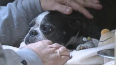 VIDEO: Sam, a 13-year-old Boston terrier, landed in a hot tub after falling from his owners balcony.