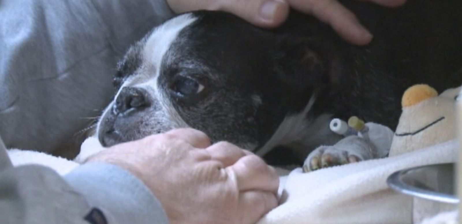 VIDEO: Sam, a 13-year-old Boston terrier, landed in a hot tub after falling from his owner's balcony.