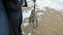 VIDEO: FDNY Lieutenant Dave Kelly captured the missing whippet named Burt during the blizzard.