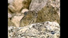 VIDEO: Bill Blakemore heads to the Colorado Rockies, where the population of the small mammal is on the decline.