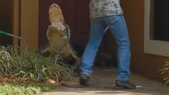 VIDEO: Dramatic video shows the capture of an alligator from the doorstep of a Miami home.