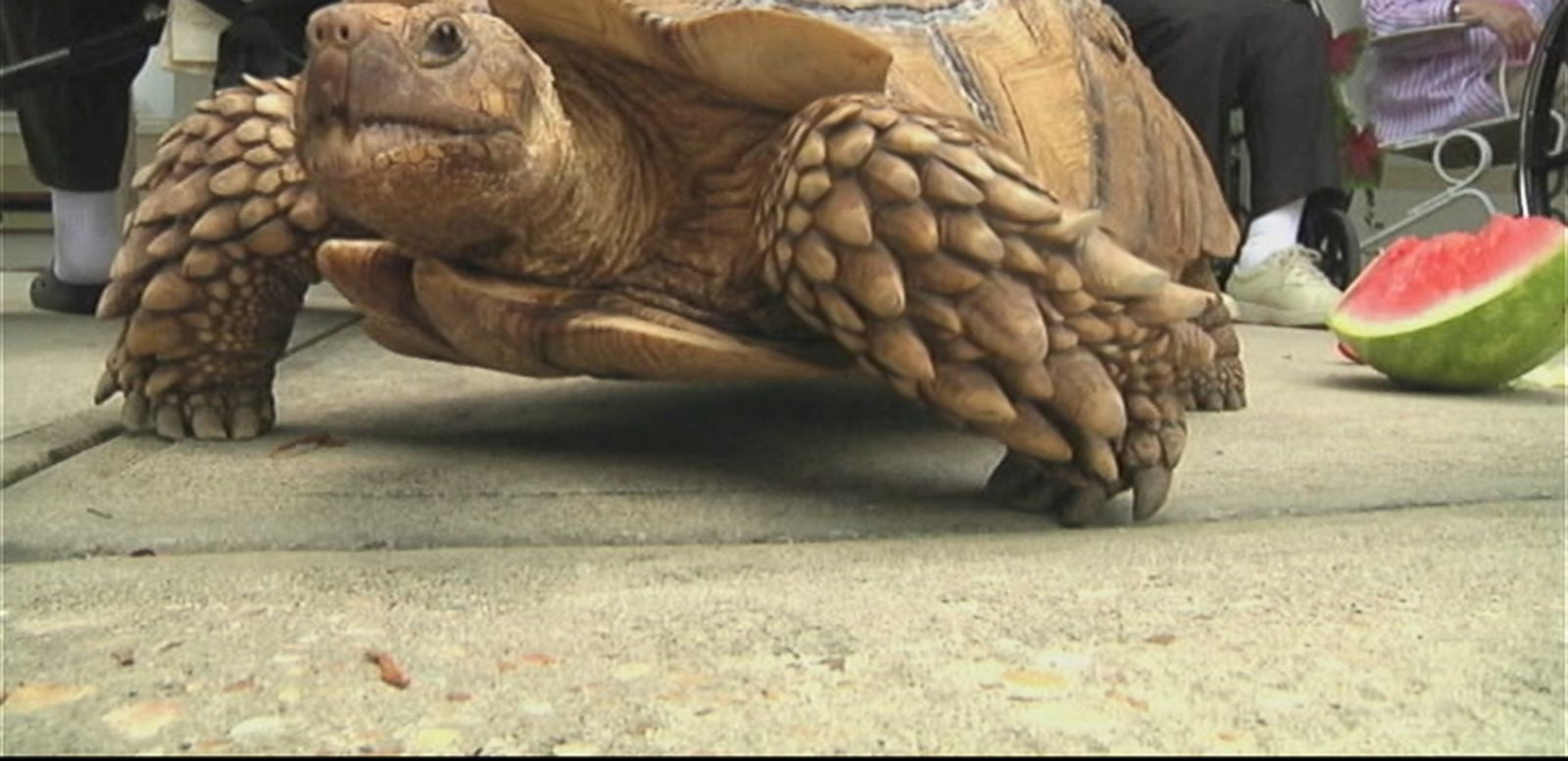 VIDEO: Shelly the tortoise delights residents and visitors at a nursing home in DeFuniak Springs, Florida.