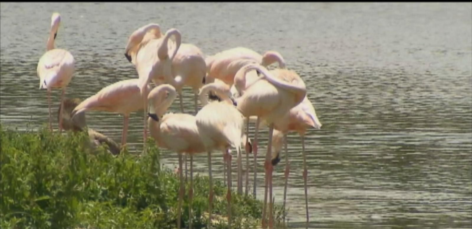 VIDEO: Baby Flamingos Stolen From Florida's Hialeah Park