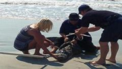 VIDEO: The alligator was captured after being spotted swimming along the shoreline at Pawleys Island, South Carolina.