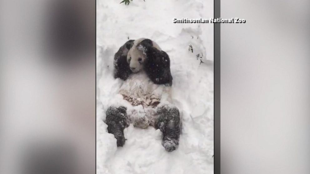 VIDEO: Panda Bear Frolics in Snow at Smithsonians National Zoo