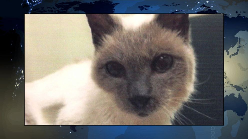 30 year old siamese cat named worlds oldest by guinness