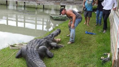 Now Playing: Officials Trap Largest Live Gator Ever Caught in Texas