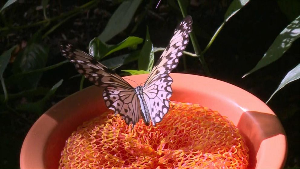 Go Inside The Monarch Butterfly Migration At The Houston Museum Of Natural Science Video Abc News