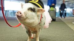 VIDEO: San Francisco Airport Introduces Therapy Pig