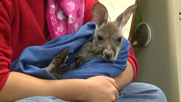 VIDEO: Staff at South Dakota's Bramble Park Zoo are caring for Olive and will introduce the joey to her kangaroo family next month.