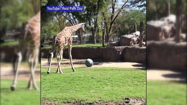 VIDEO: The giraffe stretches his legs by playing soccer at the Reid Park Zoo in Tucson, Arizona.