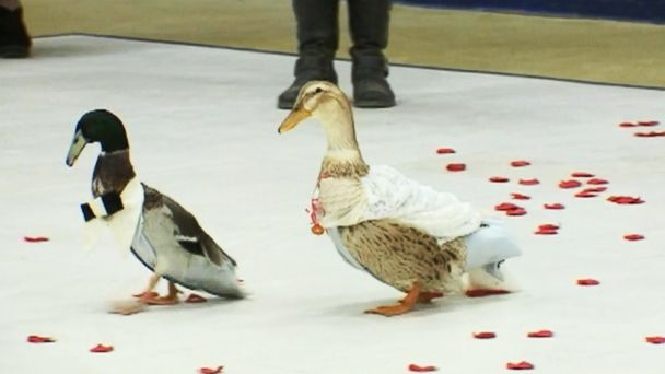 VIDEO: Kindergartners host wedding for a couple of ducks