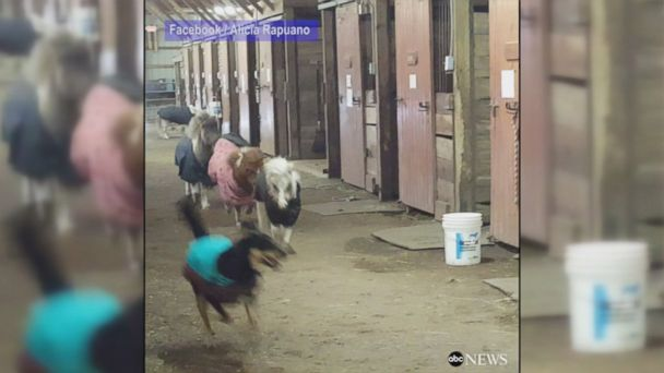 VIDEO: When it was too icy for these miniature horses to safely go outside, they stretched their legs by racing a dog around a barn.
