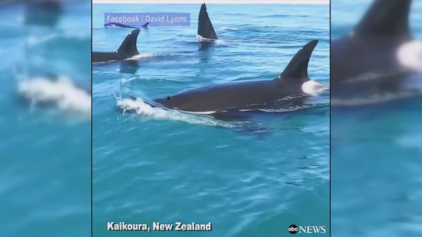 VIDEO: Jet skiers capture the incredible moment that a group of killer whales surround them.