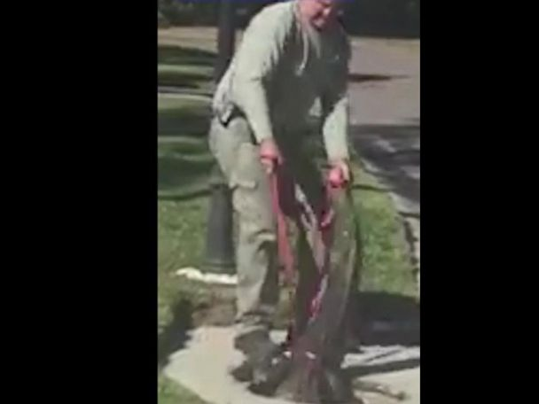 WATCH:  Trapper pulls huge alligator from manhole in Florida