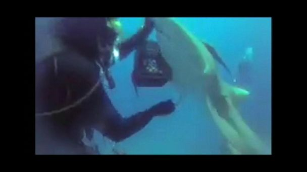 VIDEO: Diver pulls hook from shark's belly