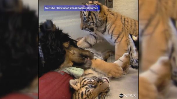 VIDEO: Abandoned triplet tiger cubs won't leave their