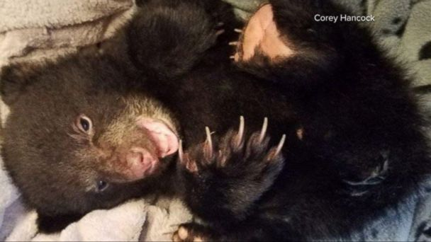 VIDEO: On Monday evening, Salem resident Corey Hancock was hiking the Santiam River Trail outside the city when he came across the 3-month-old cub about 2 miles down the trail, he told ABC News on Wednesday.