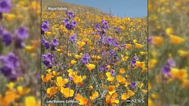 VIDEO: After a very rainy winter season, California has been experiencing a once-in-a-decade super bloom that has carpeted parts of the state with gorgeous wildflowers.