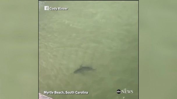 Beachgoers film at least 8 sharks swimming incredibly close to the shore of Myrtle Beach, South Carolina.