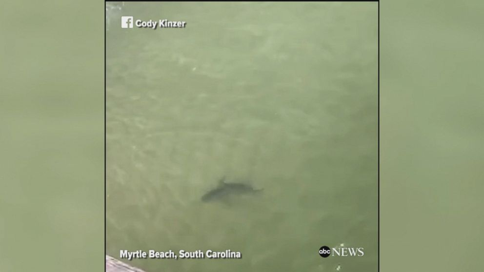 Sharks Spotted Near Myrtle Beach Video