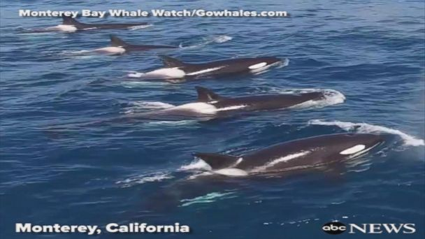 VIDEO: Killer whales charge toward blue whale off California coast