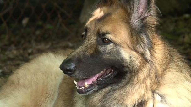 VIDEO: Annie Geiger was woken up by her American Shepherd as smoke filled her home.