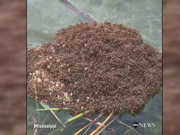 WATCH:  Fire ants cling to one another to form raft